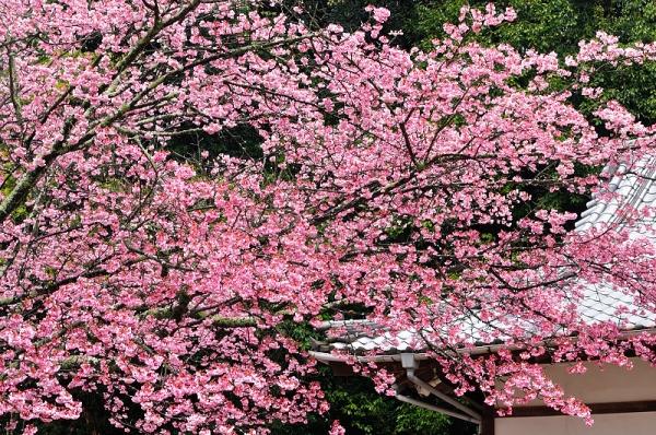 2薄紅寒桜190228