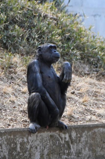 14906-チンパンジー-1