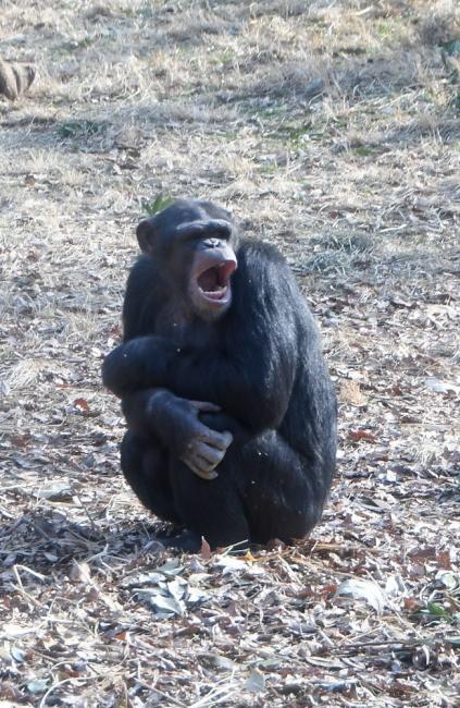14907-チンパンジー-2