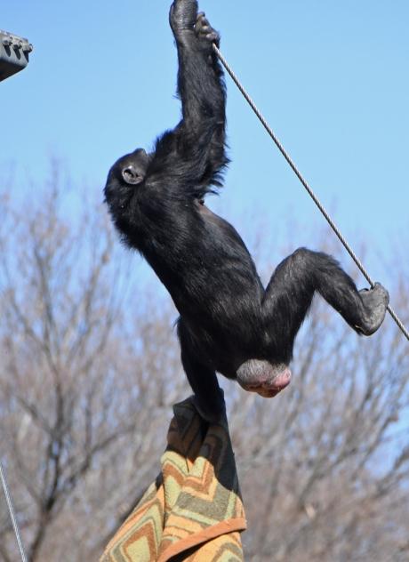 14908-チンパンジー-3