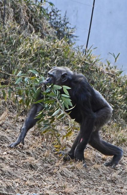 14909-チンパンジー-4