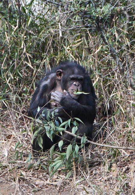 14910-チンパンジー-5