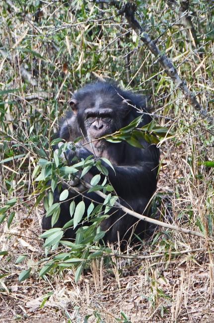 14911-チンパンジー-6