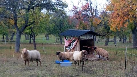 ご近所さん羊