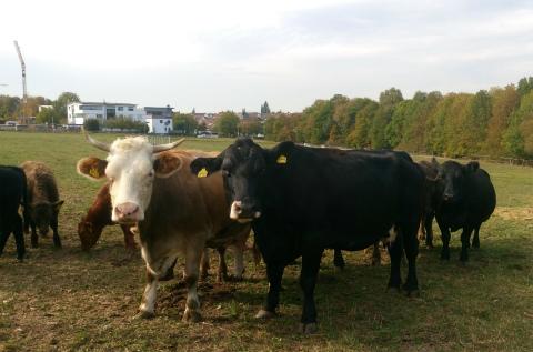 ご近所さん牛